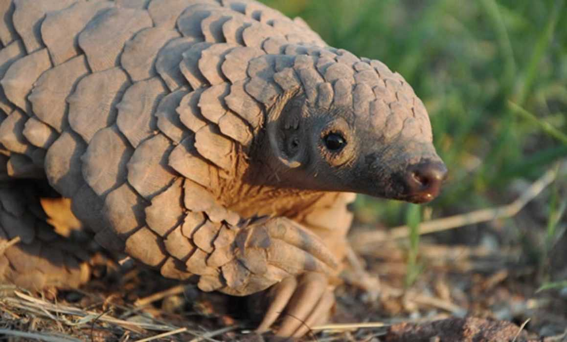cute pangolin pictures - pangolin on the prowl
