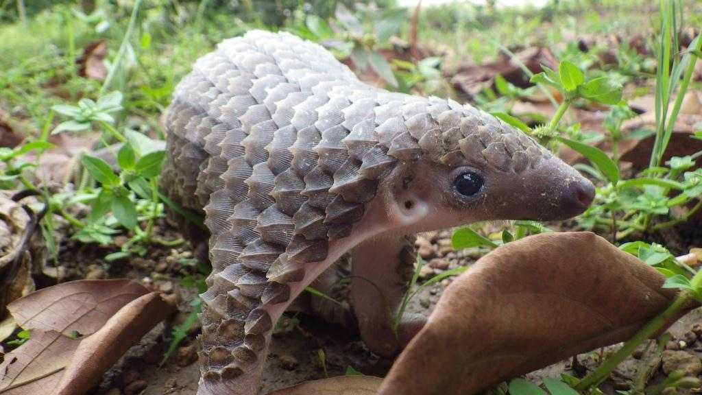 cute pangolin pictures - pangolin checking out a leaf