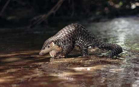 cute pangolin pictures - pangolin on water