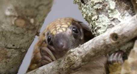 cute pangolin pictures - pangolin being thoughtful