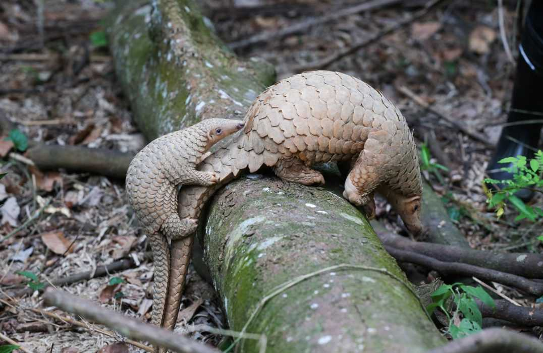 cute pangolin pictures - tailgating pangolin
