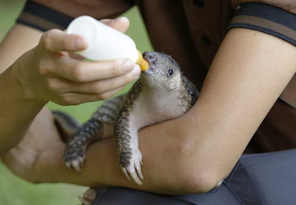 cute pangolin pictures - pangolin feeding from a bottle