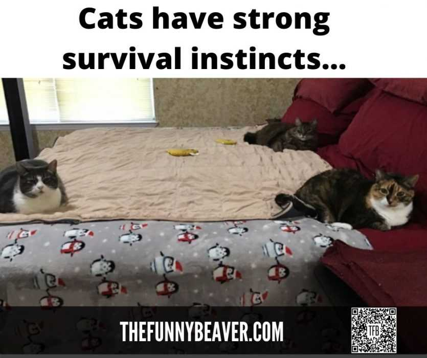 quarantine cat memes - cats have strong survival instincts