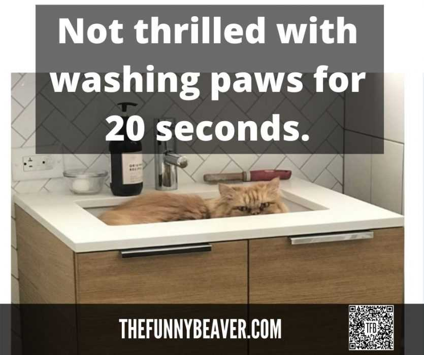quarantine cat memes - not thrilled by 20 sec paw wash