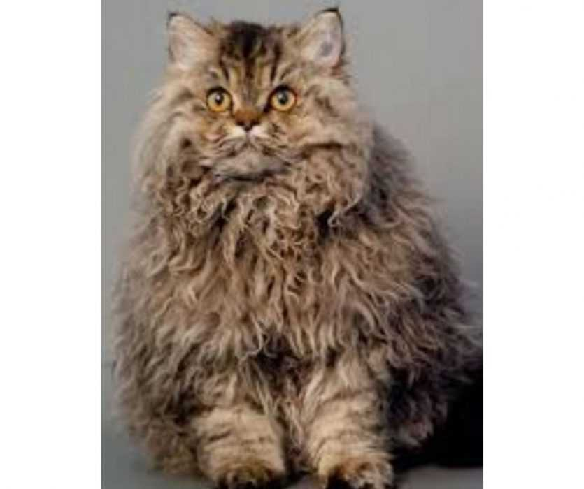 Floofy Animals - Floofy Kitty