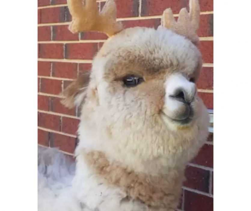 Floofy Animals - Floofy Alpaca