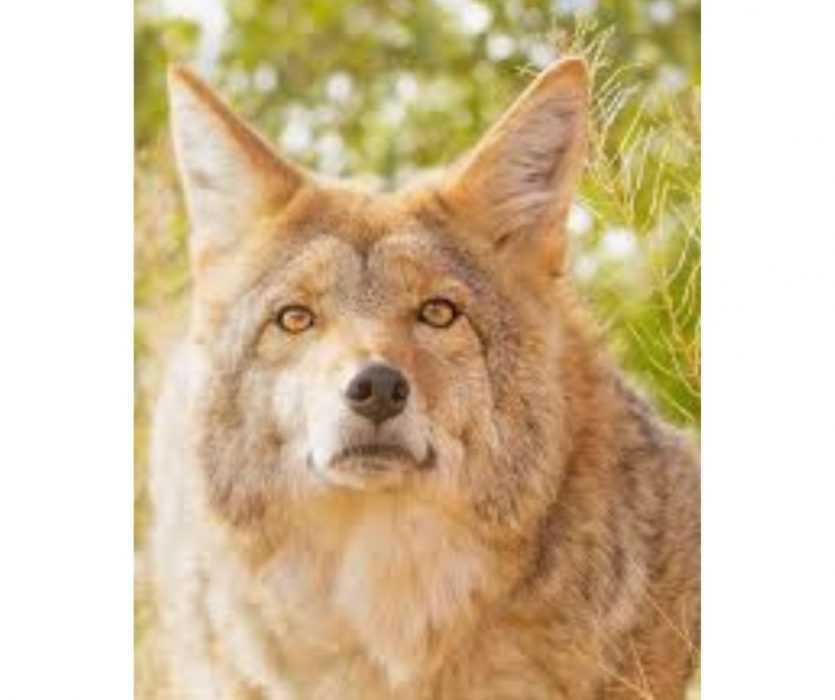 Floofy Animals - Floofy Wolf