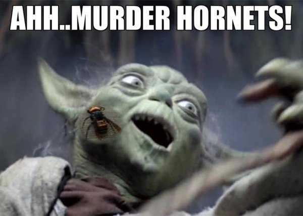 meme featuring yoda being stung by a murder hornet