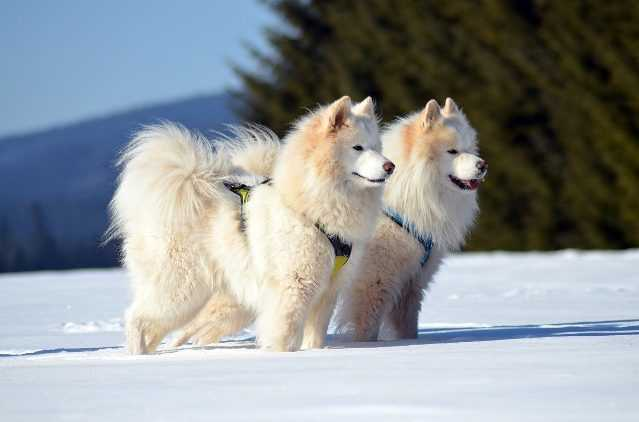 2 samoyeds in snow