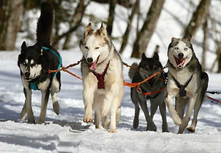 4 huskies pulling a sled
