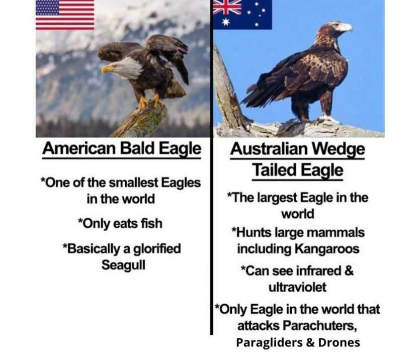 australian wedge tail eagle vs american bald eagle meme