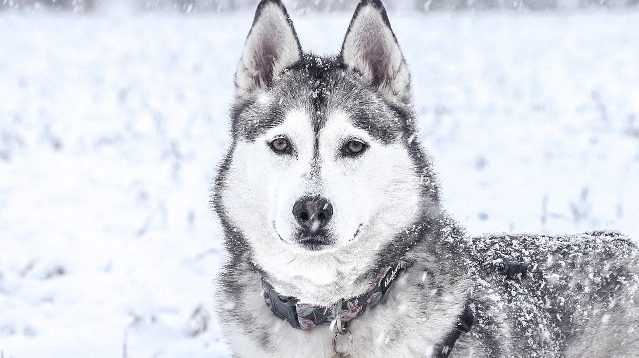 female husky in snow