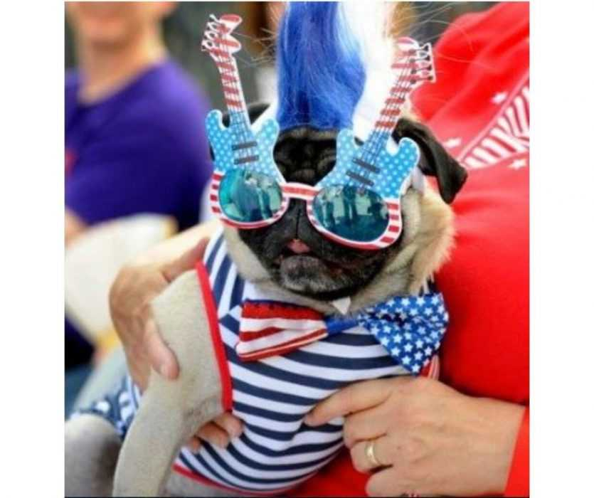 pug dressed up with stars and stripes with stars and stripes decorated guitar glasses