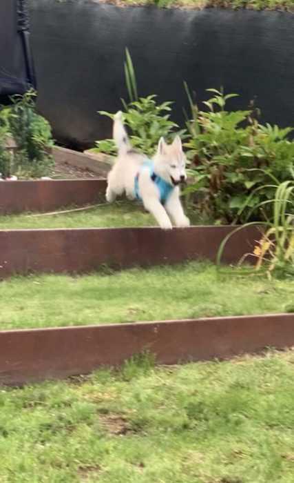 Luna Husky Puppy Running Like the Wind