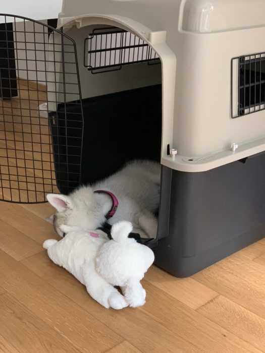 luna the husky pup having an afternoon nap in her crate