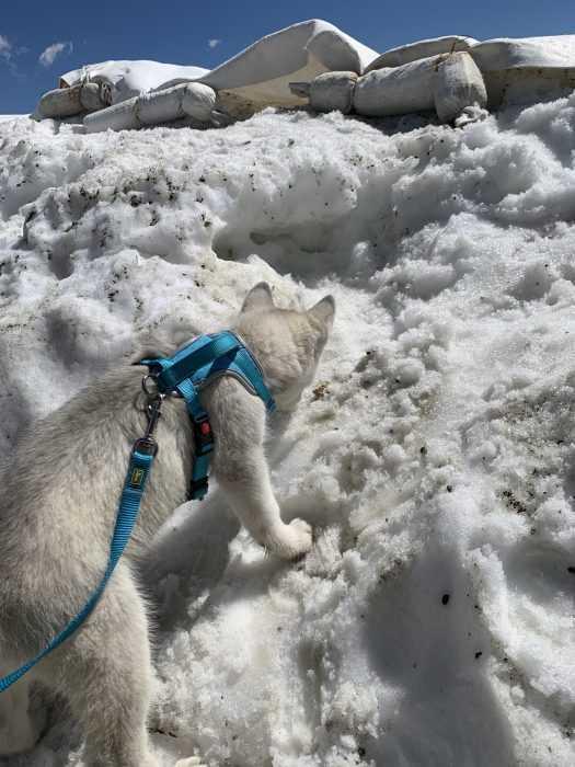 luna husky pup stepping on snow hesitantly