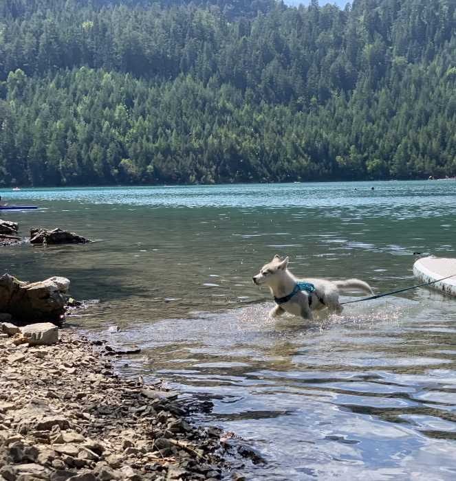 luna the husky puppy in a lake to cool off