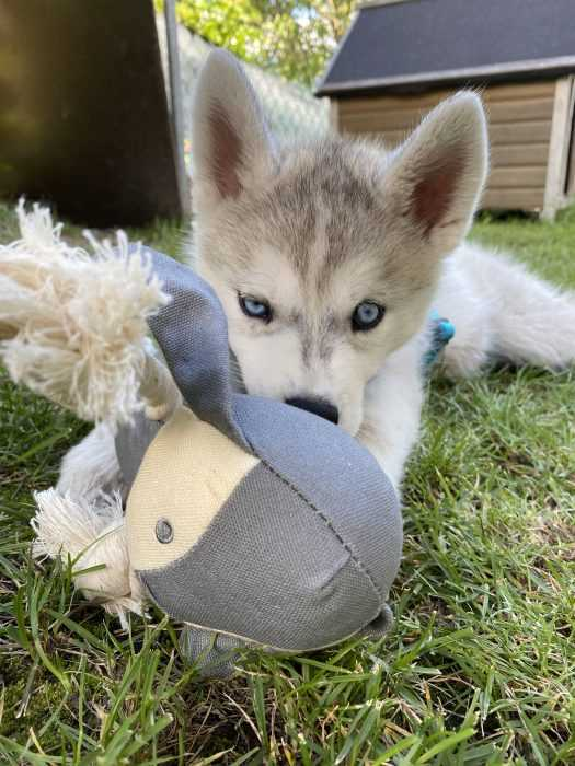 husky puppy lying on grass chewing on toy