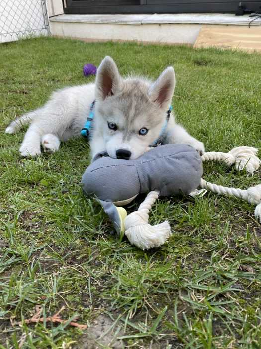 husky puppy lying on grass chewing on toy 2
