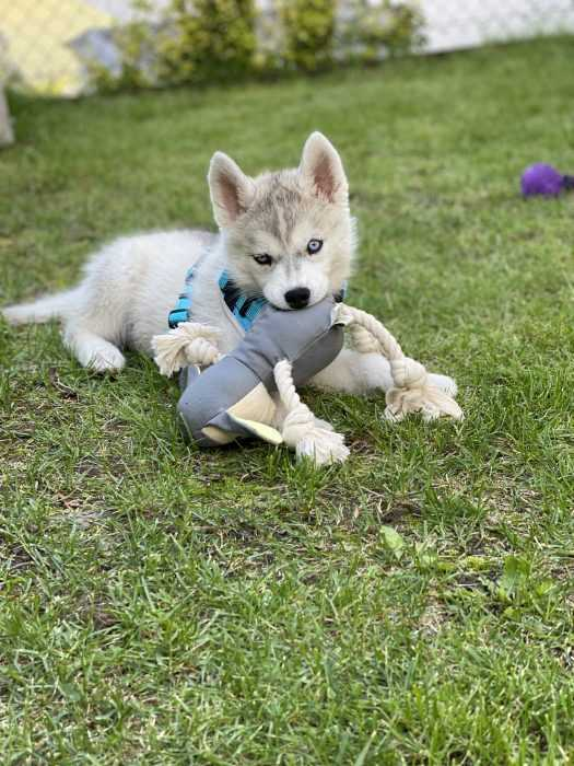 husky puppy lying on grass chewing on toy 3