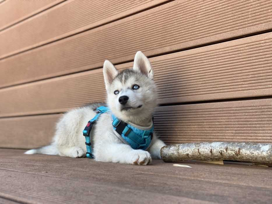 husky puppy on deck with big stick looking up