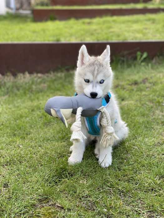 husky puppy sitting on grass holding on to toy in mouth