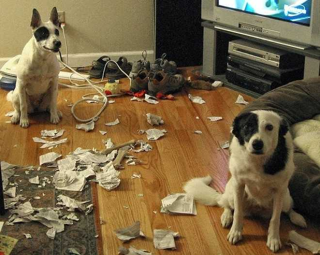 one dog looking happy while the other looks ashamed next to some torn newspaper strewn all over the floor