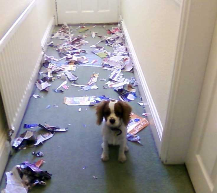 small dog standing in a hallway with ripped up paper strewn over the floor