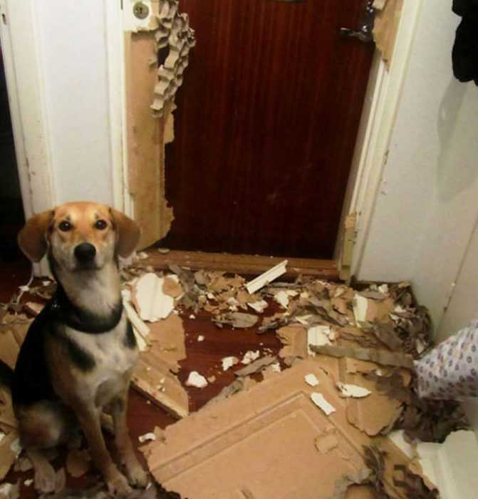 A dog with a funny expression sitting in front of a door that was ripped to pieces by said dog
