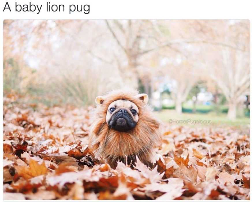 cute baby pug dressed up as a lion