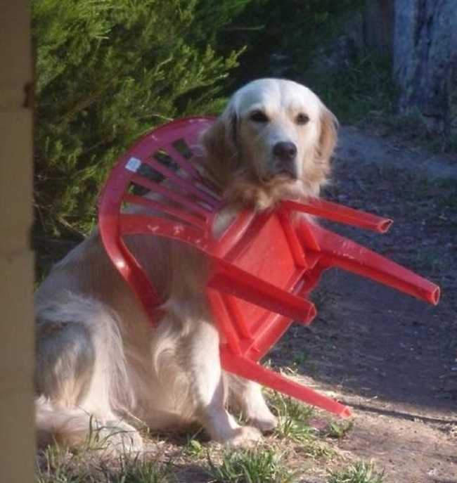 A funny golden retriever with his head and front paw through the arm of a plastic lawn chair