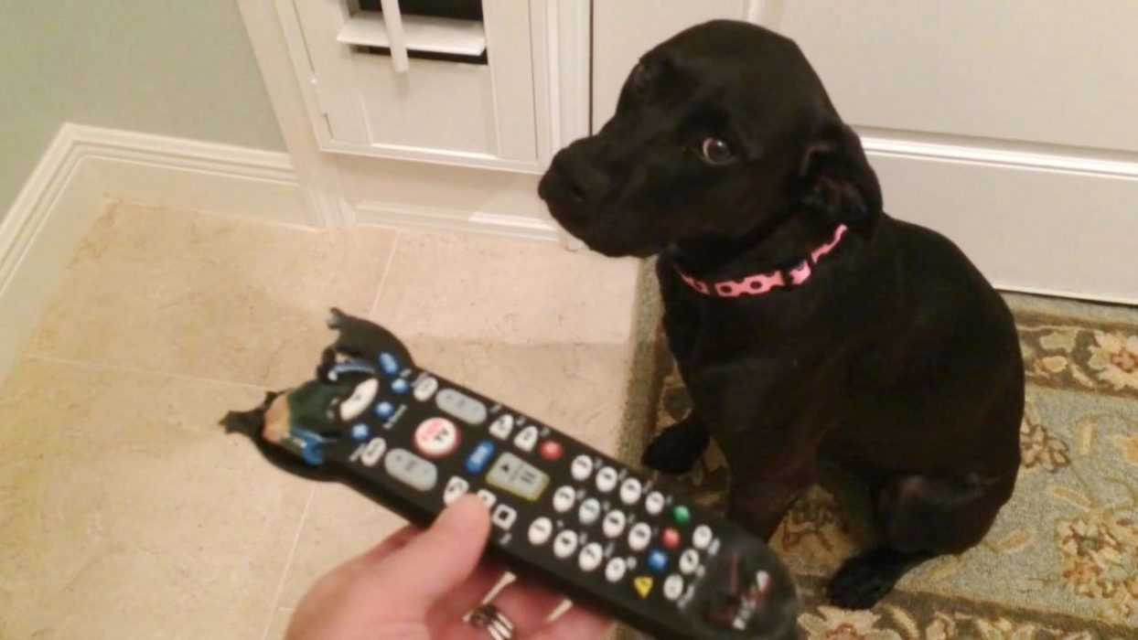 A funny puppy sitting on the floor in front of a half chewed up remote