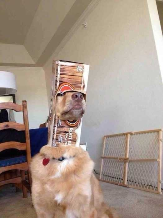 cute picture of a retriever dog wearing a cardboard box over his head