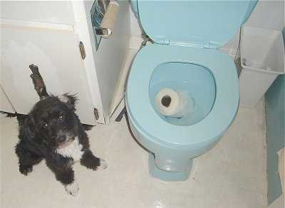 A funny picture of a dog sitting next to a toilet bowl after he threw a roll of toilet paper into it