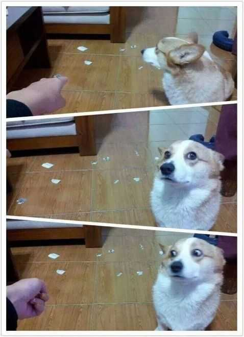 a dog giving a funny side glance to a torn up piece of paper