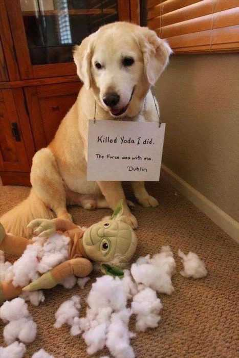 A funny dog looking amused with a yoda stuffed toy he ripped open with all its stuffing on the floor
