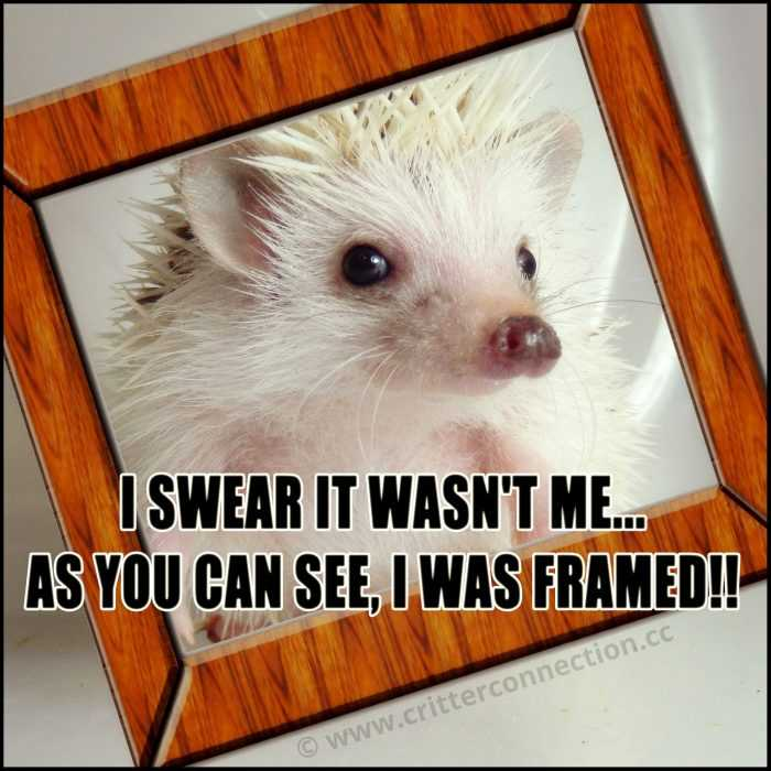 hedgehog in a picture frame captioned I swear it wasn't me... as you can see I was framed!