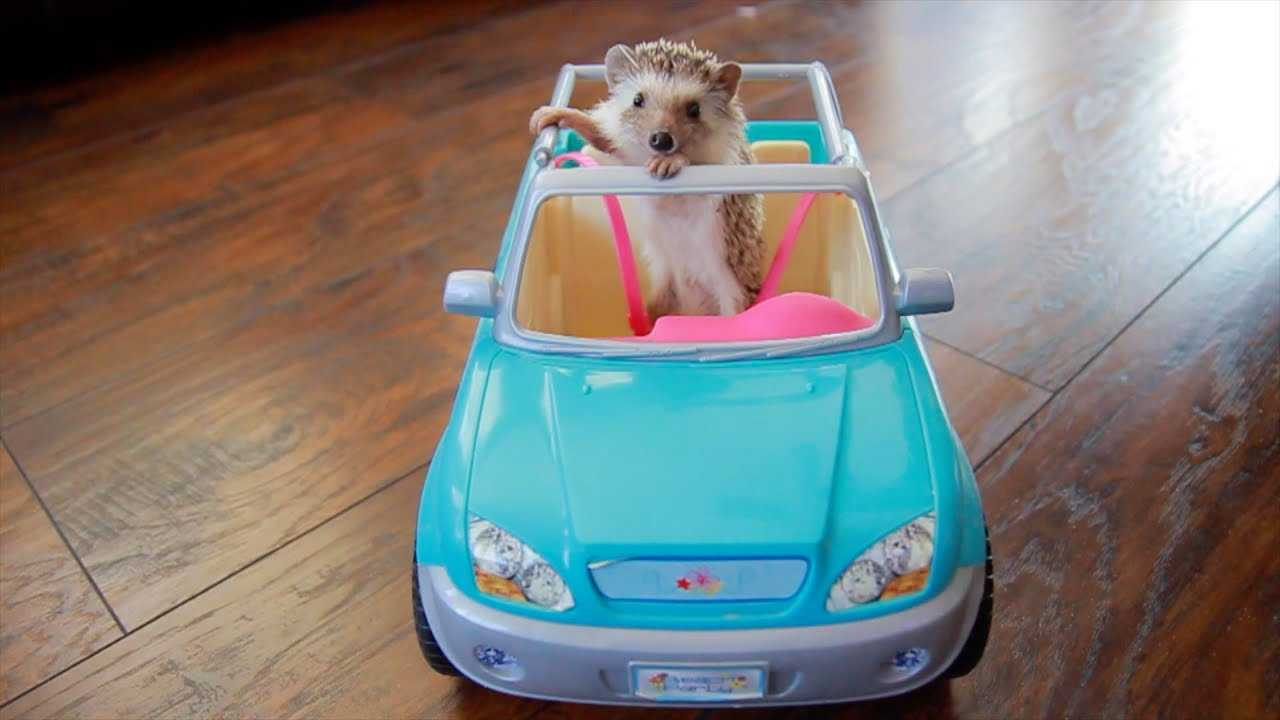 hedge hog in toy car picture