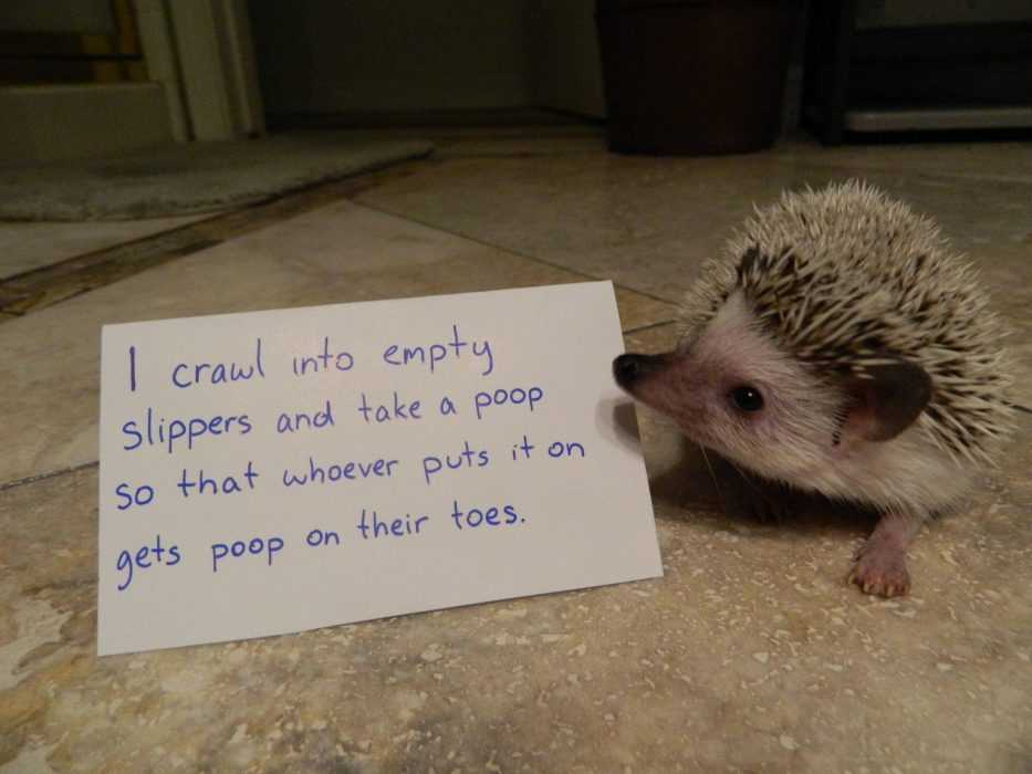 dog shaming for hedge hogs captioned I crawl into empty slippers and take a poop so that whoever puts it on gets poop on their toes.