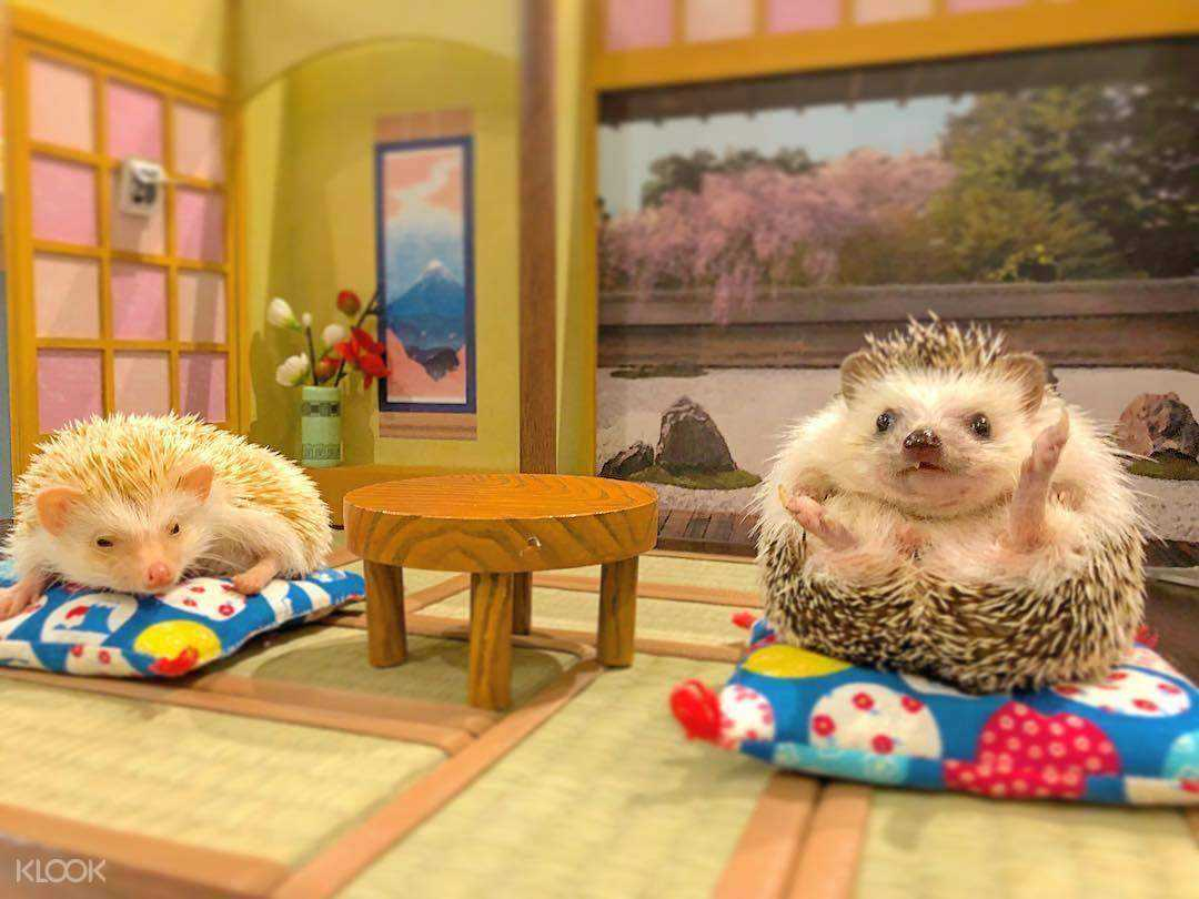 two hedge hogs sitting in a Japanese room