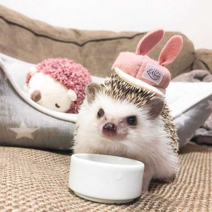 another cute picture of a hedge hog wearing rabbit ears