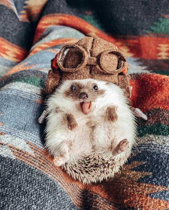 cute hedgehog pic showing a hedgehog wearing retro aviation goggles with hat with its tongue sticking out