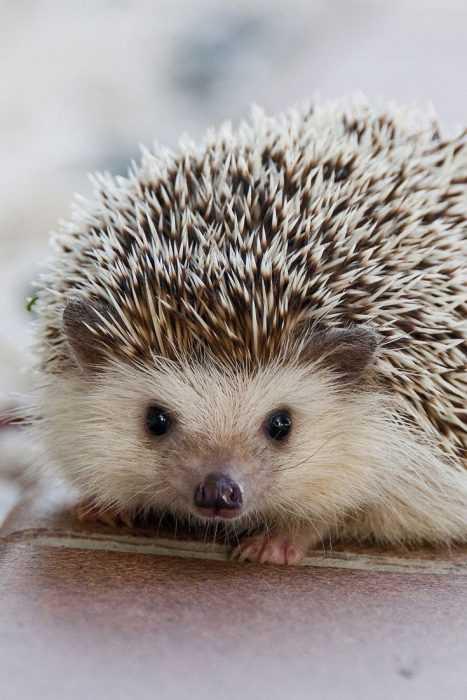 cute hedge hog staring at camera