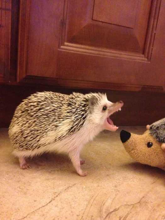 hedgehogs pics showing an angry hedgehog next to a stuffed hedgehog
