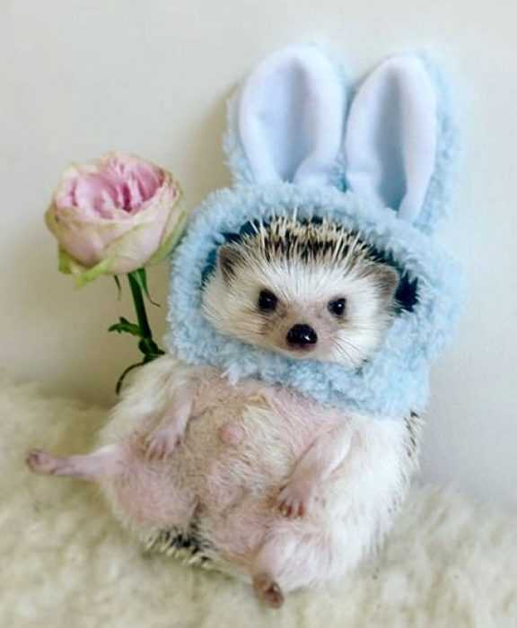 cute picture of a hedge hog wearing rabbit ears