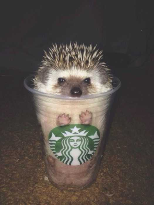 cute picture of a hedgehog in a transparent Starbucks cup