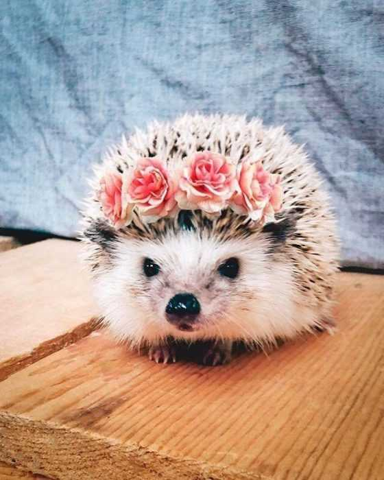 cute picture of hedgehog wearing roses in its spikes