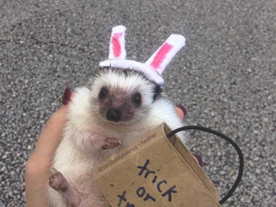 hedgehog dressed up as a rabbit out trick or treating