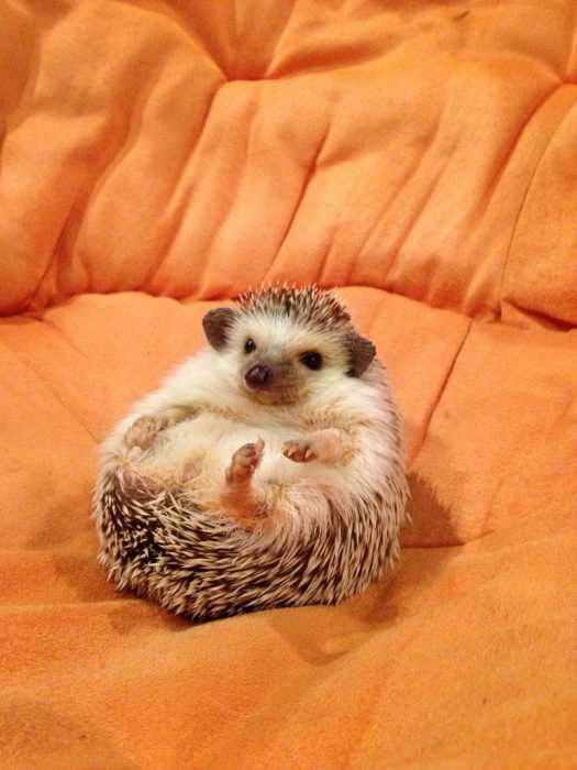 adorable hedgehog sitting on a sofa on it's back