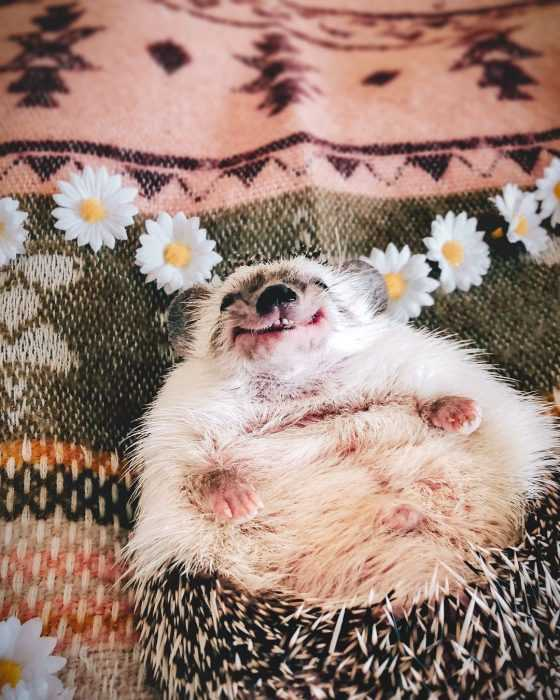 hedge hog lying on carpet with cute grin on its face
